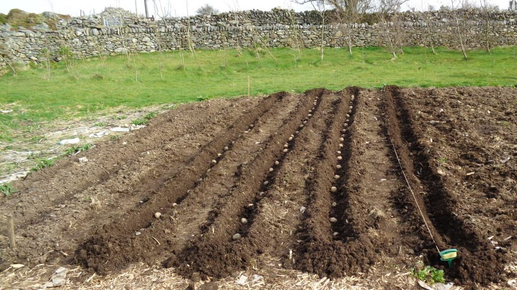 Potatoes being planted in rows