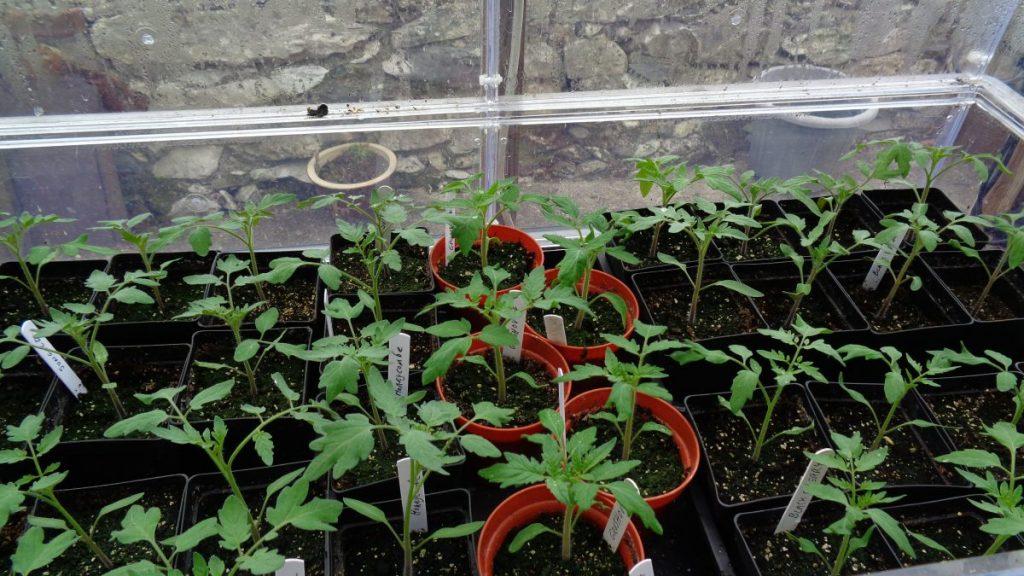 Tomatoes in Vitopod