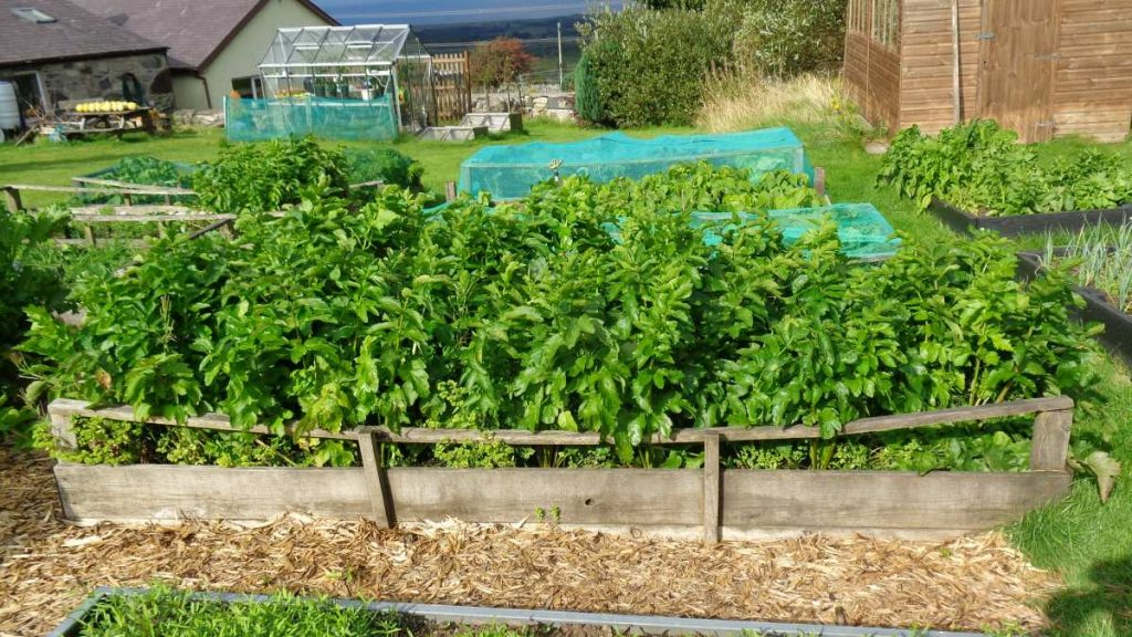 Bed of Parsnips