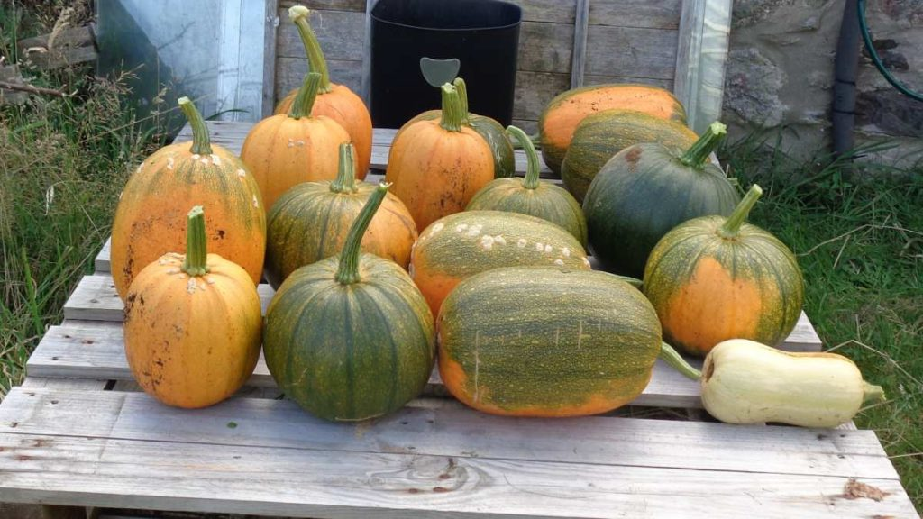 Pumpkins curing outside