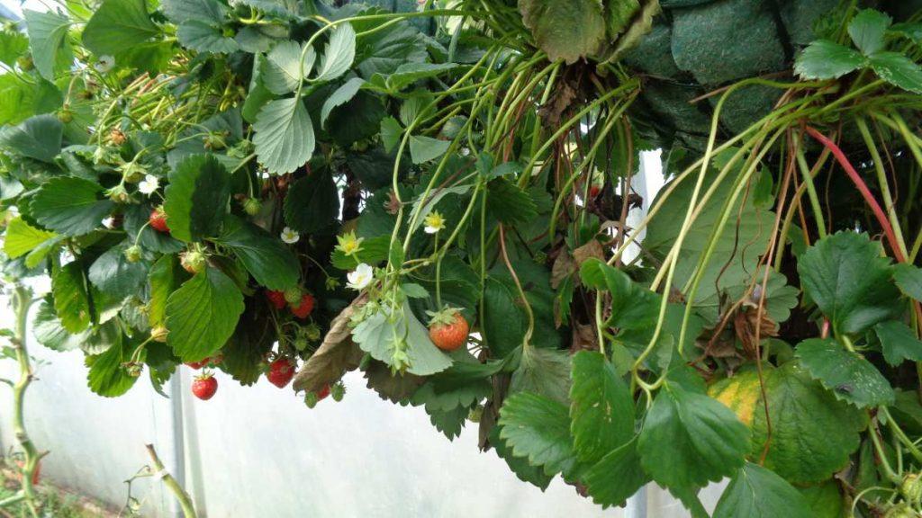 Mara des Bois Strawberries