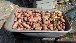 Sarpo Axona Potatoes in Wheelbarrow