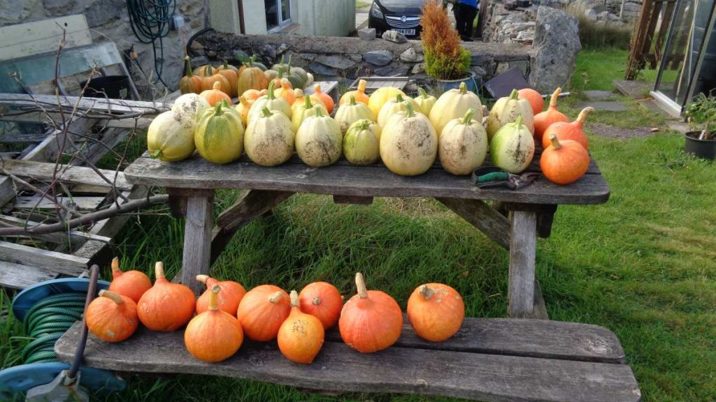 Squash and pumpkins curing on table