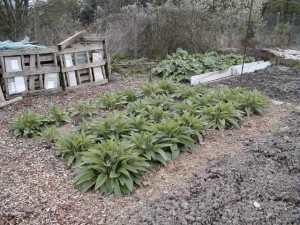 Comfrey Patch