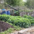 Comfrey Growing Well