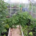 San Marzano Tomato in Greenhouse