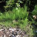 Horsetail or Marestail - the ugly