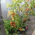 Larry's Tomatoes in the Polytunnel