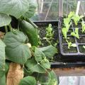 Seedling Lettuce and Cucumber