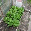 Lettuce near ready in the small greenhouse
