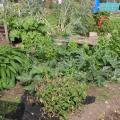Blighted Tomatoes, courgettes, comfrey and bolted lettuce