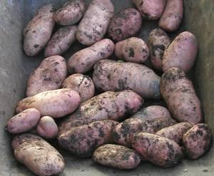 Harvesting Potatoes Guide Allotment Garden Recipes