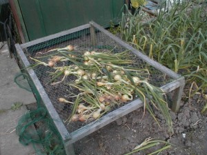 Onions on Drying Frame