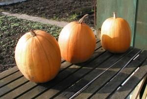 Ripened Pumpkins