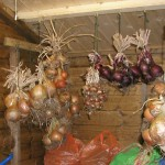 Harvesting & Storing Onions, Garlic & Shallots
