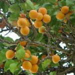 Drying Apricots, Peaches, Plums - How to Dry Apricots etc.