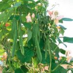 Drying Runner & French Beans - How to Dry Runner & French Beans