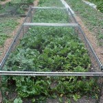 1 ft  6 in High x 4 ft  Wide Fruit and Vegetable Cage