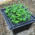 Hydropod Cuttings Propagator