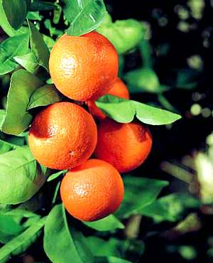 Fruit Plants and Seeds, Fruir Trees, Fruit Bushes and Nut