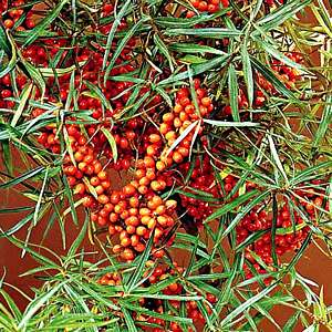 Sea Buckthorn Shrub