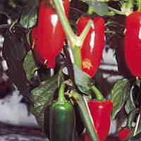 Capsicum - Pepper