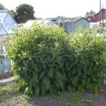 Planting, Cultivation, Harvesting & Problems of Comfrey