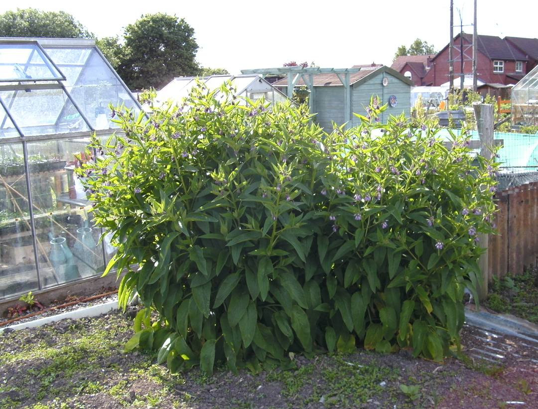 Planting cultivation harvesting problems of comfrey for Planting a garden