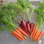 Carrot Growing Tips - Carrot Fly, Growing & Harvesting