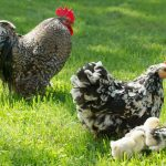 Feeding Comfrey to Poultry and Other Livestock