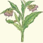 Comfrey – Medicinal Uses of Comfrey (Symphytum officinale)