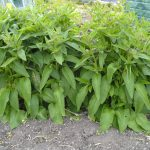 Using Comfrey: Making Comfrey Compost, Comfrey Liquid Feed or Tea