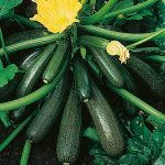 Growing Courgettes on Poor or Sandy Soil - Organically
