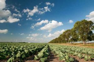 Field of Brassicas