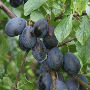 Growing Damsons