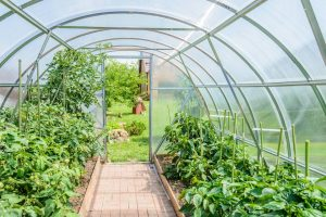 July Polytunnel