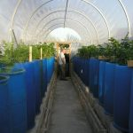 Growing in a Polytunnel in May