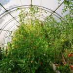 Polytunnels & Organic Growing in a Polytunnel
