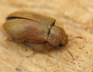 Raspberry Beetle
