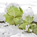 Winter Tips: Kale, Cabbage & Broccoli