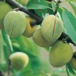 Growing Almonds - How to Grow Almonds