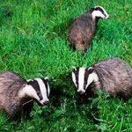 Discouraging Badgers | Stop Badgers Destroying Your Plot