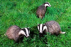Stopping Badgers