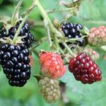 Growing Blackberries - How to Grow Blackberries