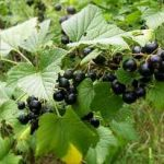 Growing Blackcurrants - How to Grow Blackcurrants