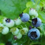 Growing Blueberries and Bilberries - How to Grow Blueberries