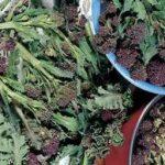 Growing Broccoli - How to Grow Broccoli