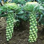 Growing Brussels Sprouts - How to Grow Brussels Sprouts