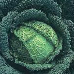 Growing Cabbage - How to Grow Cabbage