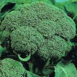 Growing Calabrese - How to Grow Calabrese